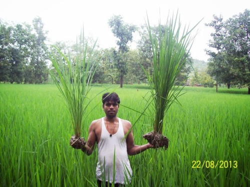 Difference between SRI and traditional plant